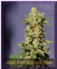 Kannabia Original Berry Female 5 Cannabis Seeds